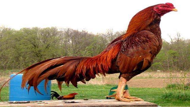 Ciri-ciri Kepala Ayam Bangkok Yang Ungul Dan Calon Juara