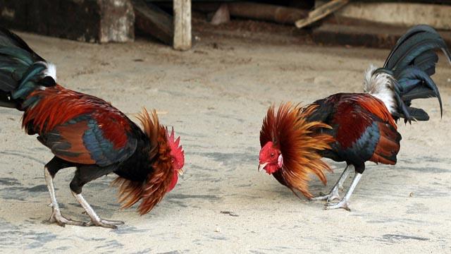 Keungulan Adu Ayam Pama Krawing Asli