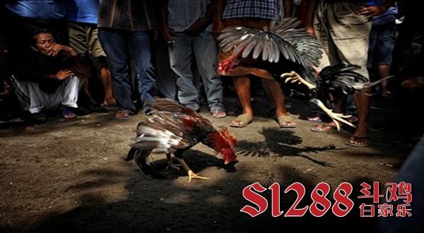 Game Judi S128 Sabung Ayam Online